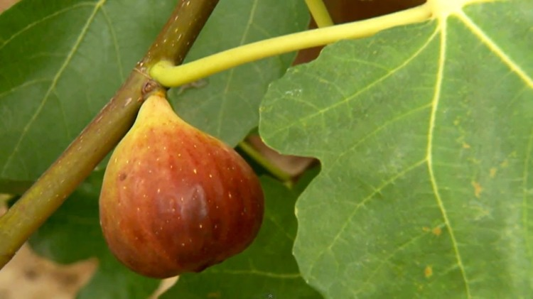 fig-on-a-branch